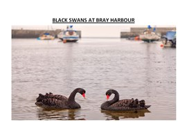 Black Swans at Bray Harbour